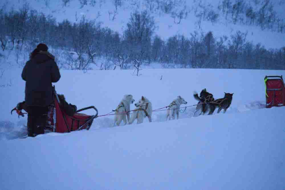 Norwegen Schlittenhunde